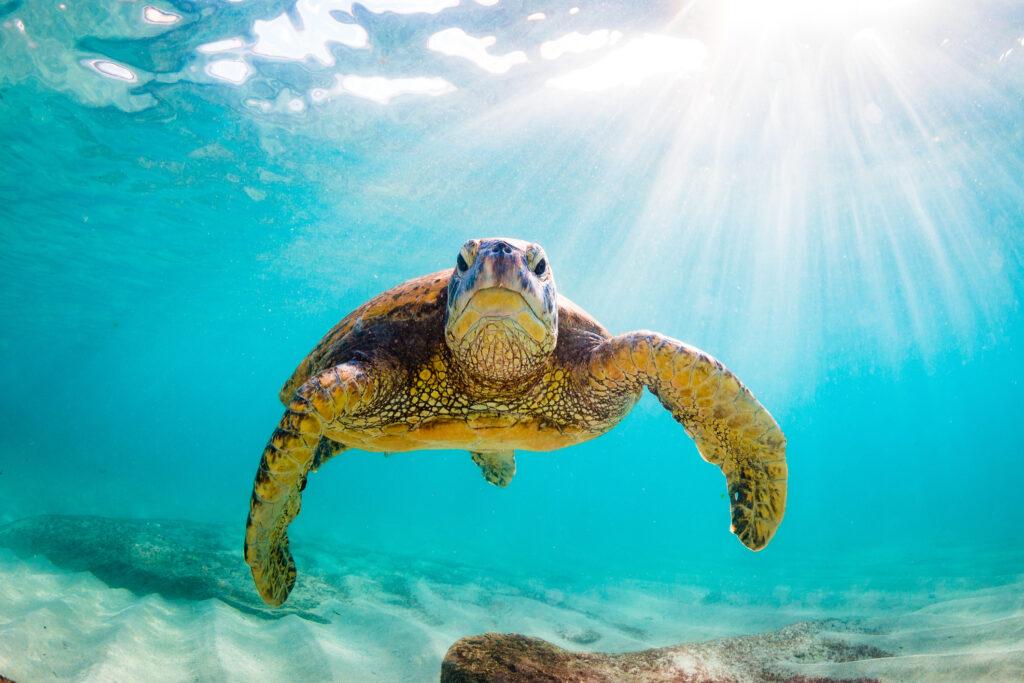 Beautiful Hawaiian Green Sea Turtle