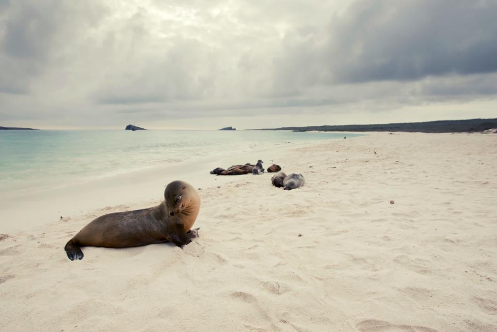 Leon marino de las Islas Galápagos