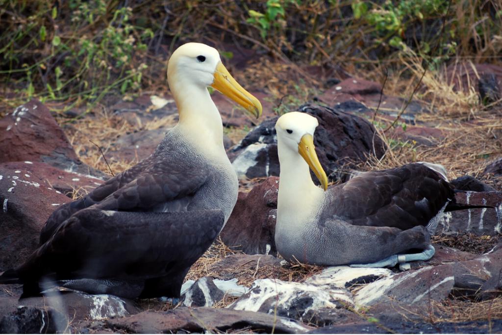 Albatros de las Islas Galápagos