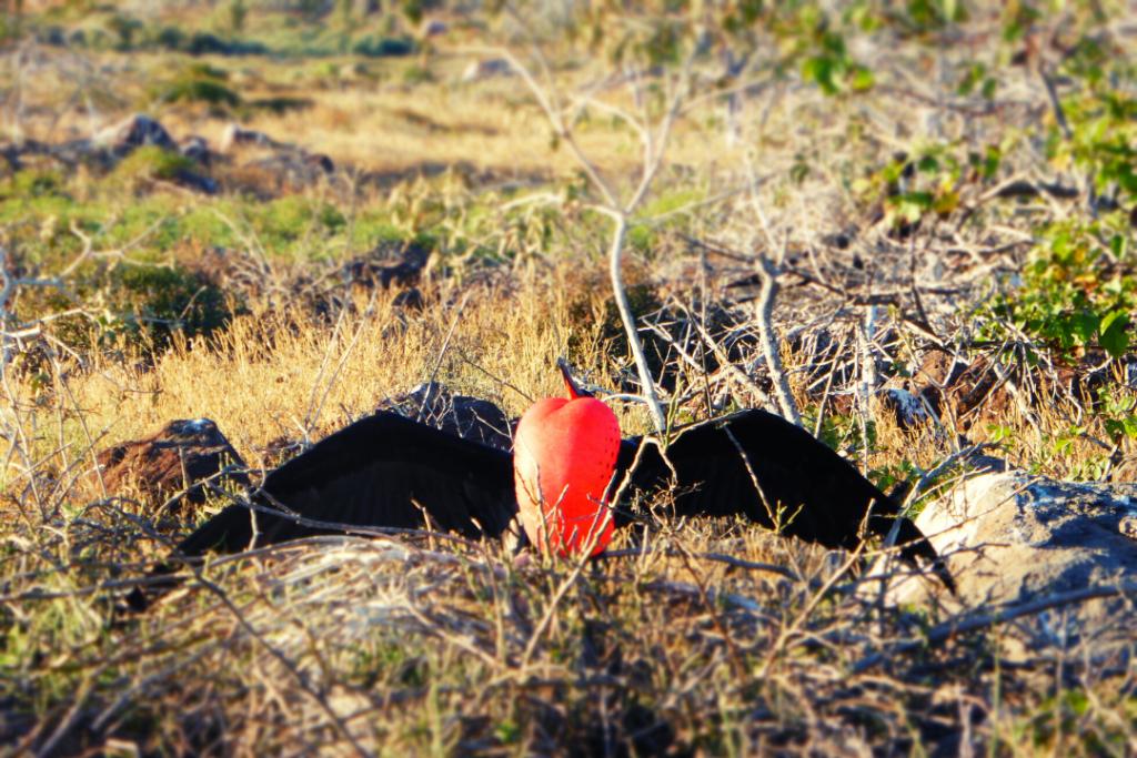 Fragata de las Islas Galápagos