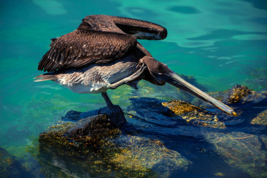 Pelicano de las Islas Galápagos